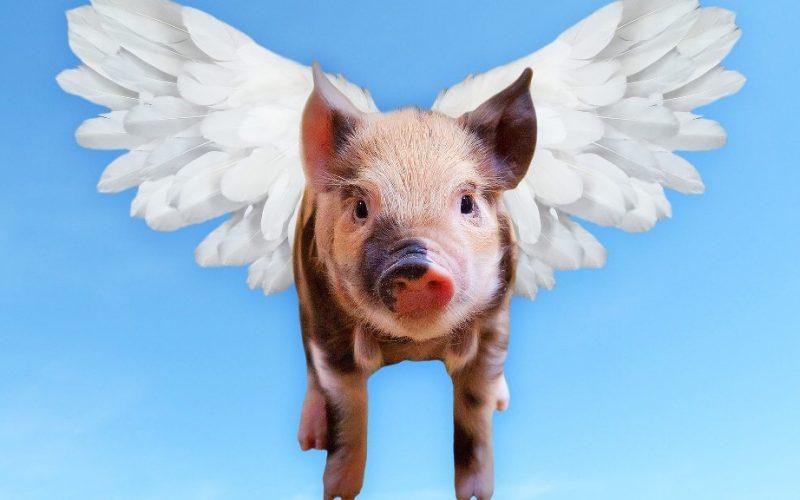 O porco voador